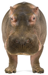 Hippopotamus Facing The Camera Sticker