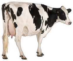 Holstein Cow, Standing In Front Of White Background Sticker