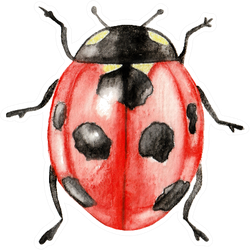 Illustration Ladybug Sticker