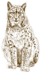 Illustration Of Bobcat Sticker