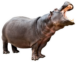 Isolated Hippopotamus With Opened Mouth Sticker