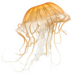 Japanese Sea Nettle Orange Jellyfish On White Sticker