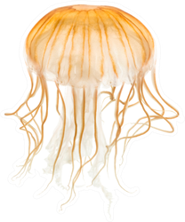 Japanese Sea Nettle Orange Jellyfish Sticker