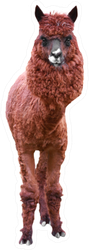 Lama Isolated On A White Sticker