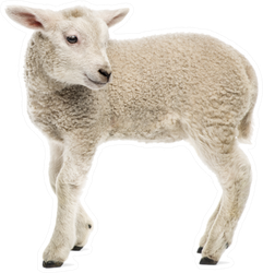 Lamb (8 Weeks Old) Isolated On White Sticker