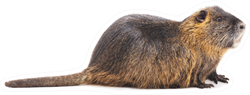 Large Beaver Isolated On A White Background Sticker