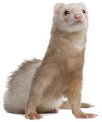 Light Colored Ferret Sitting Up Sticker