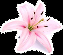 Light Pink Lily Flower Sticker