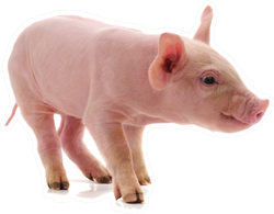 Little Pink Pig Sticker