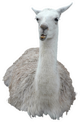 Llama Isolated On White Sticker
