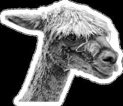 Llama Portrait In Black And White Sticker