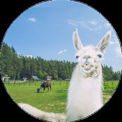 Llama Relax In Summer Sunny Day Sticker