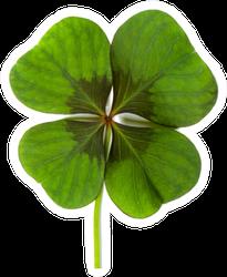 Lucky Clover, Four Leaf Clover Sticker