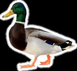 Mallard Duck Colourful Wild Duck Drake Sticker