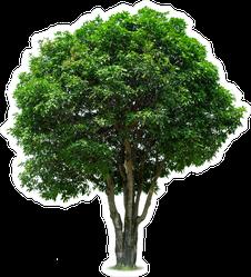 Mango Tree Sticker