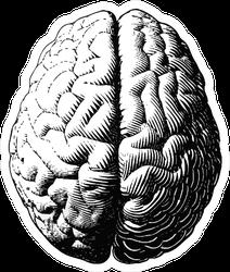 Monochrome Engraving Brain Illustration In Top View Sticker