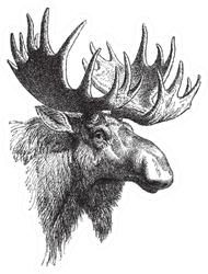 Moose Or Eurasian Elk Vintage Illustration Sticker