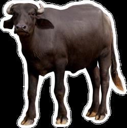 Murrah Buffalo Sticker