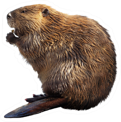 North American Beaver Isolated On White Sticker