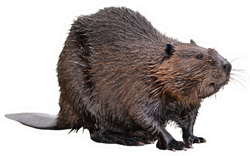 North American Beaver Sticker
