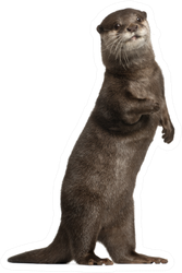 Oriental Small-clawed Otter Standing In Front Of White Sticker