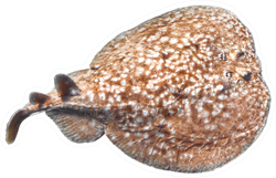 Panther Electric Ray (torpedo Panthera) Isolated On A White Sticker