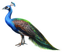 Peacock Drawing Realistic Sticker