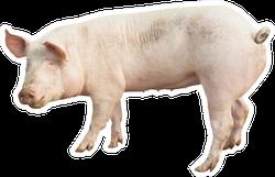 Pig Animal Isolated On White Sticker