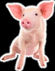 Pig On A White Background Sticker