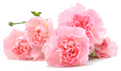 Pile Of Pink Carnations On White Sticker