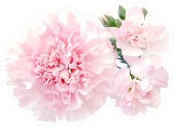 Pink Carnation Flower And Buds Isolated Sticker