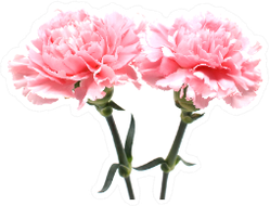 Pink Carnations Isolated On White Back Sticker
