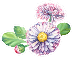 Pink Daisies Watercolor Botanical Illustration Sticker