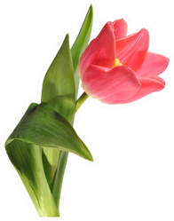 Pink Single Tulip Sticker