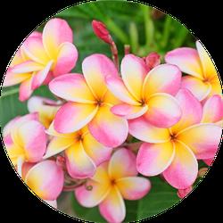 Plumeria Flower Pink And White Frangipani Sticker