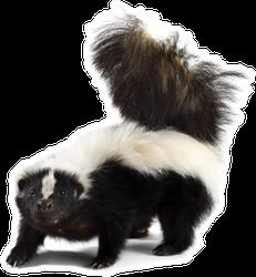 Portrait Of A Skunk Sticker