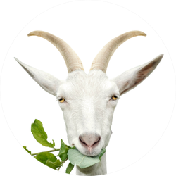 Portrait Of Goat Eating Grass Sticker