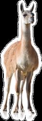 Portrait Of Llama Sticker