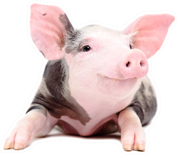 Portrait Of The Funny Little Pig Sticker