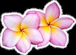 Purple Plumeria Flowers On White Sticker