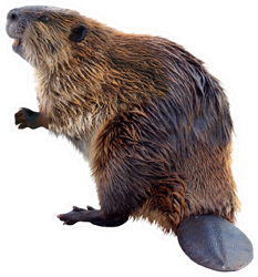 Real Beaver Sticker