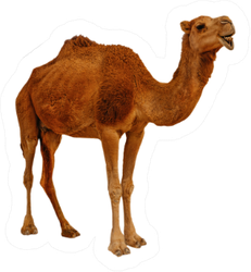 Real Camel Isolated On The White Background Sticker