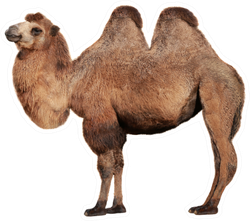 Real Camel On A White Background Sticker