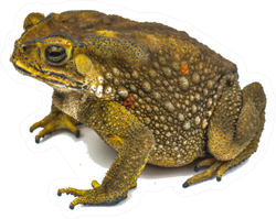 Real Toad Isolated On White Sticker