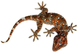 Realistic Gecko With Red Stripes Sticker