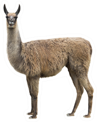 Realistic Llama Isolated On White Sticker