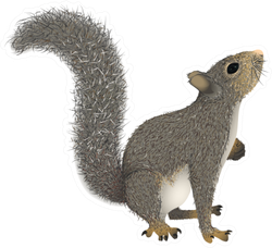 Realistic Squirrel With A Fluffy Tail That Looks Up Sticker