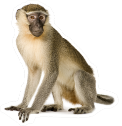 Realistic Vervet Monkey Sticker