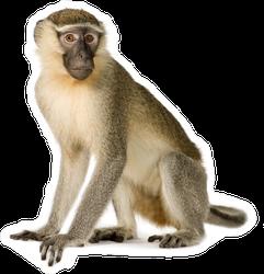 Realistic Vervet Monkey Sticker