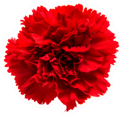 Red Carnation Isolated On White Sticker